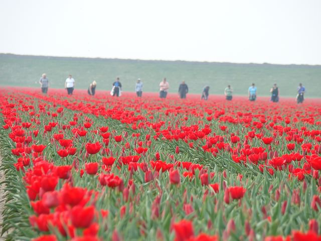 Backpacking in Holland - Tulpenernte