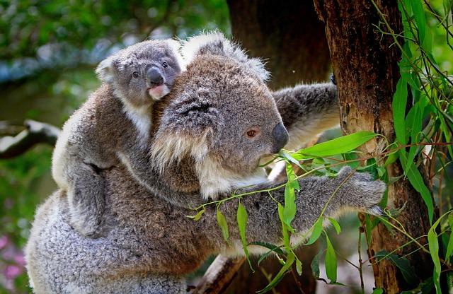 Koalas in Australien