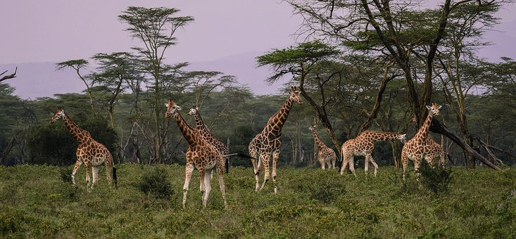 Giraffen in freier Natur