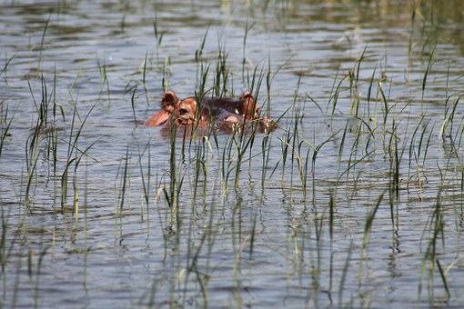 Nilpferde am Lake Awassa