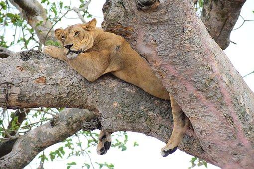 Löwen in Ishasha